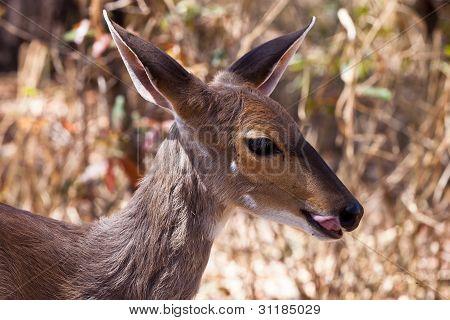Closeup Of Grant's Gazelle