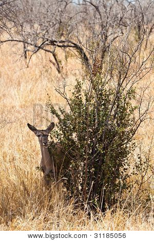 Grant's Gazelle Standing Near A Bush