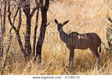 Grant's Gazelle Standing In Long Grass