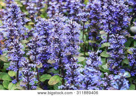 Violet Carpet Bugleweed Flowers. Ajuga Reptans Or Blue Bugle Plants Growing In Spring Garden