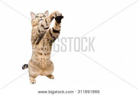 Frisky Cat Scottish Stright  With Paws Raised Up Isolated On White Background