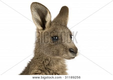 Eastern Grey joey kangaroo on a white background.