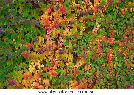 Vibrant wall of ivy and other climbers.