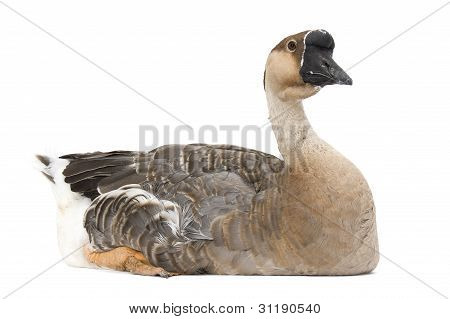 Chinese goose sitting on a white background