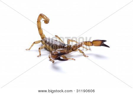 Australian Flinders Ranges Scorpian ready to strike on a white background.