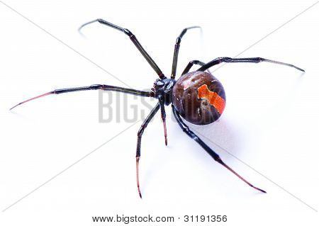 Redback spider Latrodectus hasselti on white background