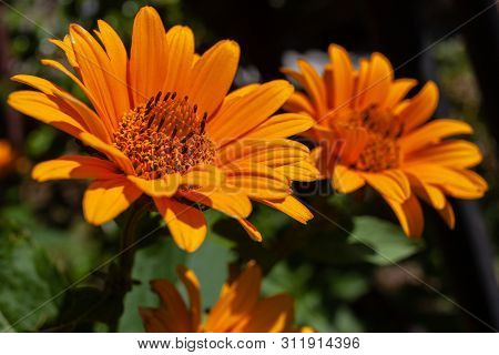 Yellow Flowers Of Rough Oxeye, Smooth Oxeye