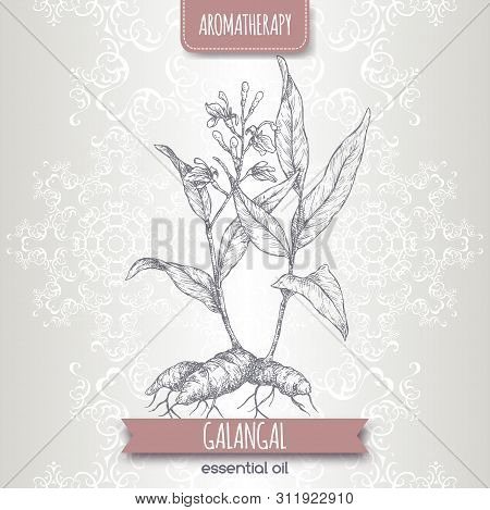 Alpinia Galanga Aka Greater Galangal Sketch On Elegant Lace Background.