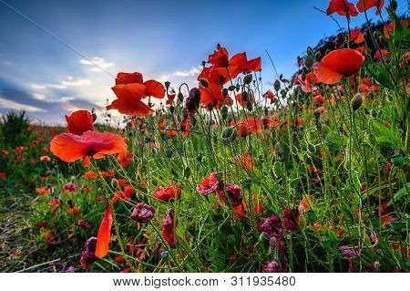 Low View Of Backlit Red Poppies, In A Hay Meadow Full Of Red Poppies In A Field At Corbridge, Northu