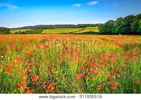 Poppies In Hayfield At Corbridge, A Hay Meadow Full Of Red Poppies In Summer Near Corbridge In North