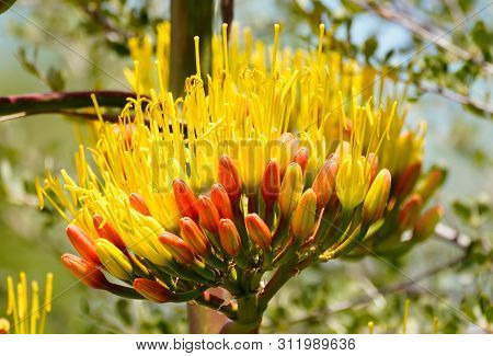The Brilliant Yellows And Oranges Of An Agave Flower In Mid Bloom.