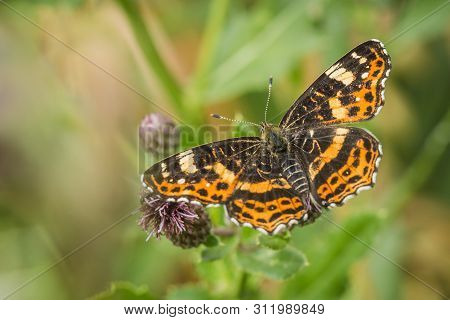 Beautiful Orange And Black Map Butterfly, Spring And Summer Form, Sitting On Purple Thistle With Ope