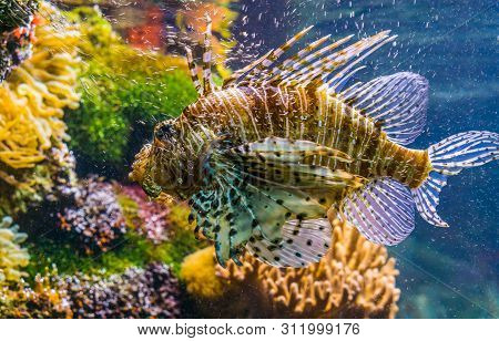 Closeup Of A Red Lion Fish In Closeup, Big Tropical Fish Specie From The Indo-pacific Ocean