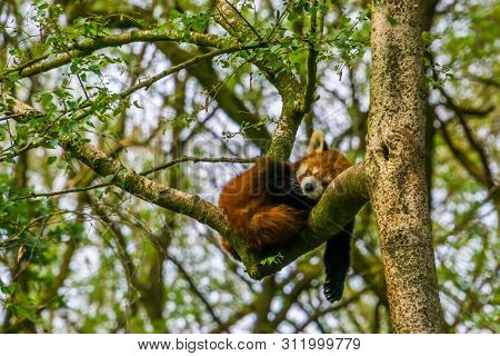 Red Panda Sleeping High In A Tree, Endangered Animal Specie From Asia