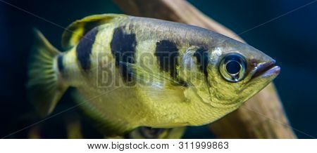Closeup of a banded archer fish, popular aquarium pet in aquaculture, Exotic specie from the Indo-pacific ocean poster