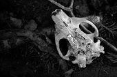 Underside of beaver skull lying on forest floor poster