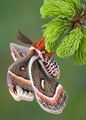 A cecropia moth is hanging from an evergreen branch. poster