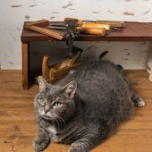 Gray cat lies on the joinery workbench among the tools. poster