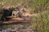 Kudu animal standing near a river bed poster