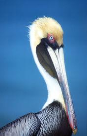 Pelican Lifestyle