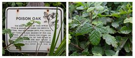 Poison Oak Sign And Close Up Of This Dangeres Shrub.