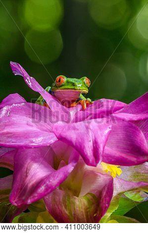 Red-eyed Tree Frog, Agalychnis Callidryas, Animal With Big Red Eyes, In The Nature Habitat, Panama.