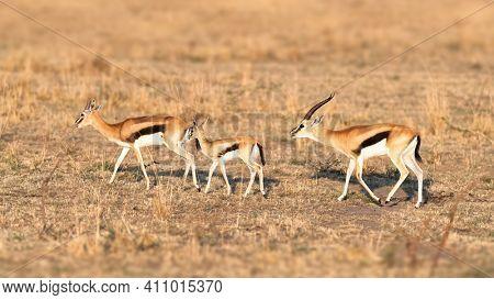 Familiy group of impalas, aepyceros melampus, in the dry grasslands of the Masai Mara, Kenya