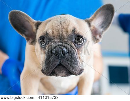 Portrait Of A French Bulldog. Veterinary Medicine Concept. Pedigree Dogs. Funny Animals.