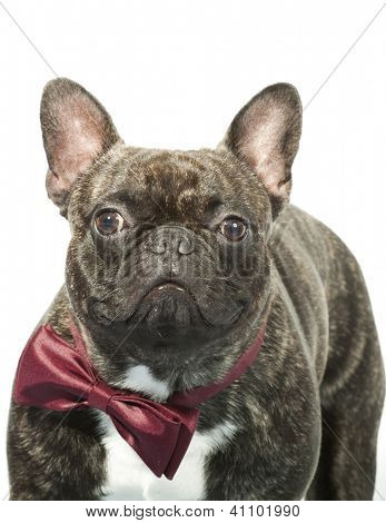 French bulldog with bow tie isolated on white poster