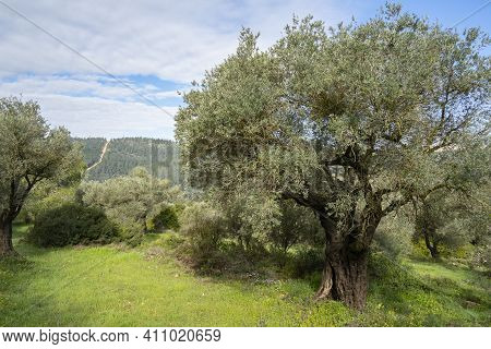 Old Olive Trees In A Grove In The Judea Mountains, Near Jerusalem, Israel, At Dawn.