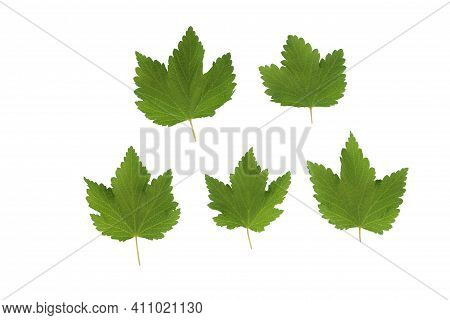 Green Plant Leaves Of Currant On A White Isolated Background, Template For Your Design, Natural Eco-