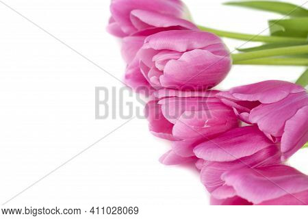 Tulips In A Field Of Tulips. Bright Tulips. Colorful Tulips Flower In The Garden. Three Beautiful Tu
