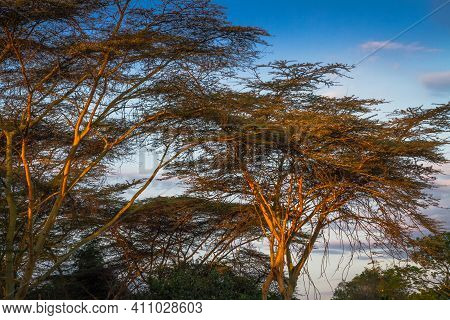 A Couple Of Acacia Trees Are Seen With The Light Of Sunset Shining On Them.