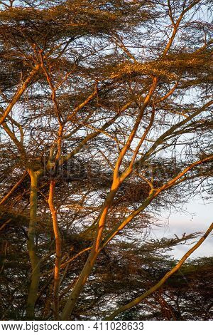 An Acacia Tree Being Lit From The Side By The Light Of Sunset In Africa.