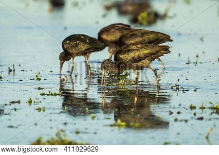 Group Of Glossy Ibis (plegadis Falcinellus) In A Rice Field In Albufera Of Valencia Natural Park.