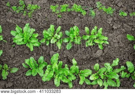 Young Seedlings Of Beets And Carrots In The Garden. Seedlings For Eco-cooking. Young Beet And Carrot