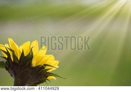 Single Yellow Sunflower Facing Towards Sunrays With Soft Green Background
