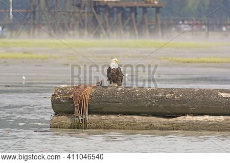 Bald Eagle Sitting On Logs In A Harbor In Stewart, Bc