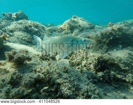 European Seabass (dicentrarchus Labrax), Aegean Sea, Greece, Halkidiki
