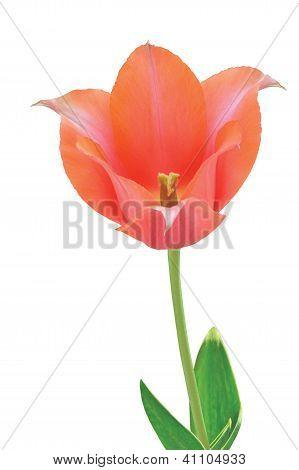 Light-red Tulip With Leaves On White