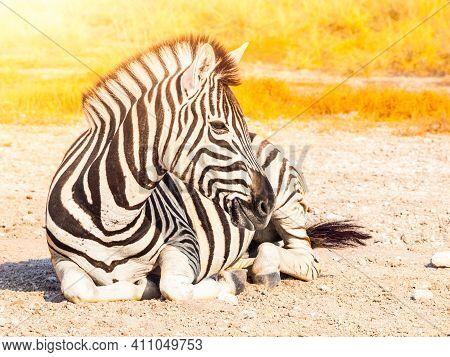 Cute Zebra Lying On The Ground. Natural Habitat Of African Savanna. Etosha National Park, Namibia, A
