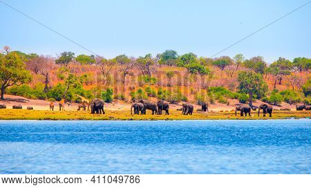 Elephants At The River. Herd Of Wild Animals In Chobe Riverfront National Park, Botswana, Africa