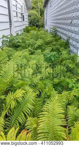 Dense Fern Thickets Close-up. Beautiful Nature Background With Many Ferns In Scenic Forest. Rich Gre