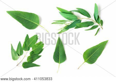 Set Of Branch And Leaves Eucalyptus On White Background