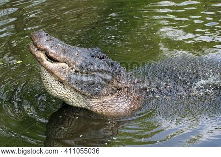 Large Male American Alligator - Alligator Mississippiensis - Bellowing During Mating Season In Flori