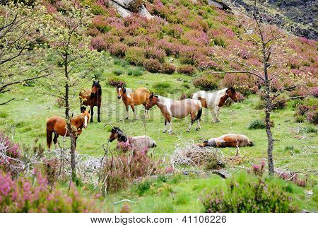 Wild Horses resting in field