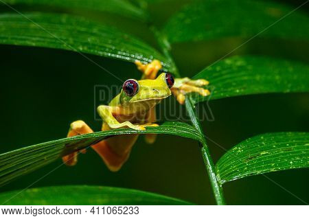 Gliding Tree Frog (agalychnis Spurrelli) Is A Species Of Frog In Family Hylidae. It Is Found In Colo