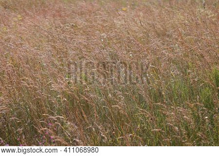 The Autumn Grass Sways In The Wind In The Field.