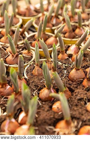 Tulip Bulbs Sprouted In Plant Nursery, Flower Bulbs Planted In Pots