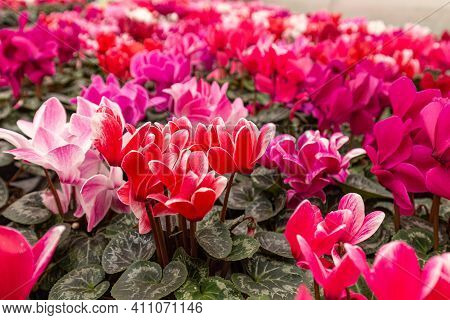 Colorful Cyclamen Persicum Flowers Various Color With Green Leafs. Pink, White And Red Houseplant Of